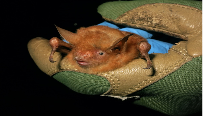 Scientists discover new 'incredible' bat from the Nimba Mountains