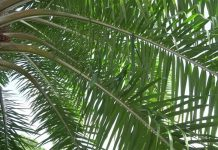 Assessment of Different Regimen of Oil Palm Leaf Extracts Against Crude Oil-Adulterated Feed Mediated Nephrotoxicity