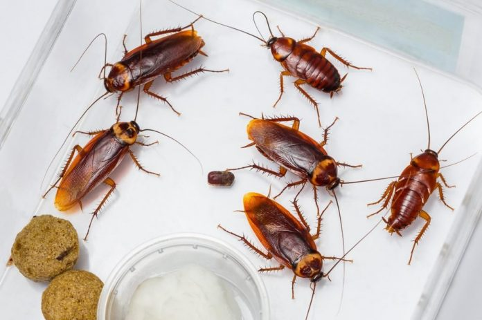 A comparative study of cultural and molecular techniques for the identification of bacterial contaminants of cockroaches (Periplaneta americana)