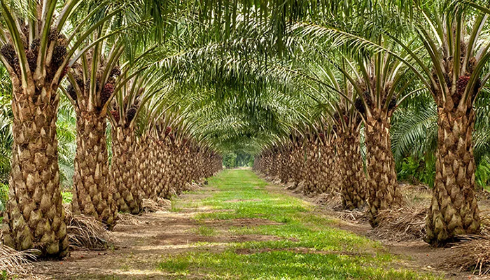 Oil palm has huge economic potentials for Ghana – New Research Findings