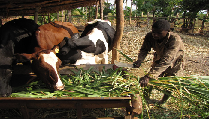 Ghanaian researcher documents the diversity of livestock poisonous plants and their antidotes